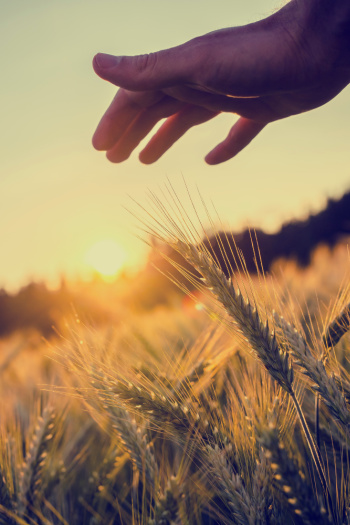 Prosperity Affirmations start with an image that is the symbol of wealth and prosperity - wheat thriving under the soft sun.